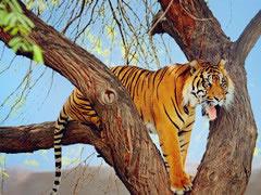 老虎会不会爬树?真相竟然是...