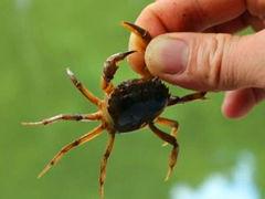 童年,抓螃蟹的那些趣事