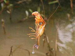 钓龙虾,追忆童年时光!